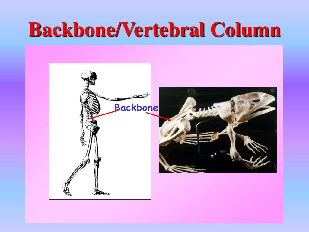 Backbone/Vertebral Column