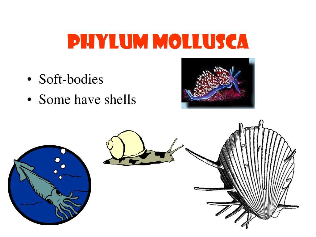 Phylum mollusca