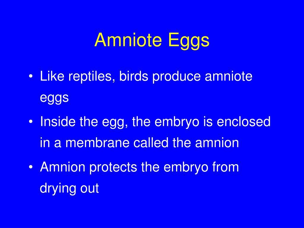 Amniote Eggs
