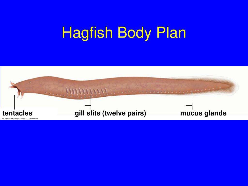 Hagfish Body Plan