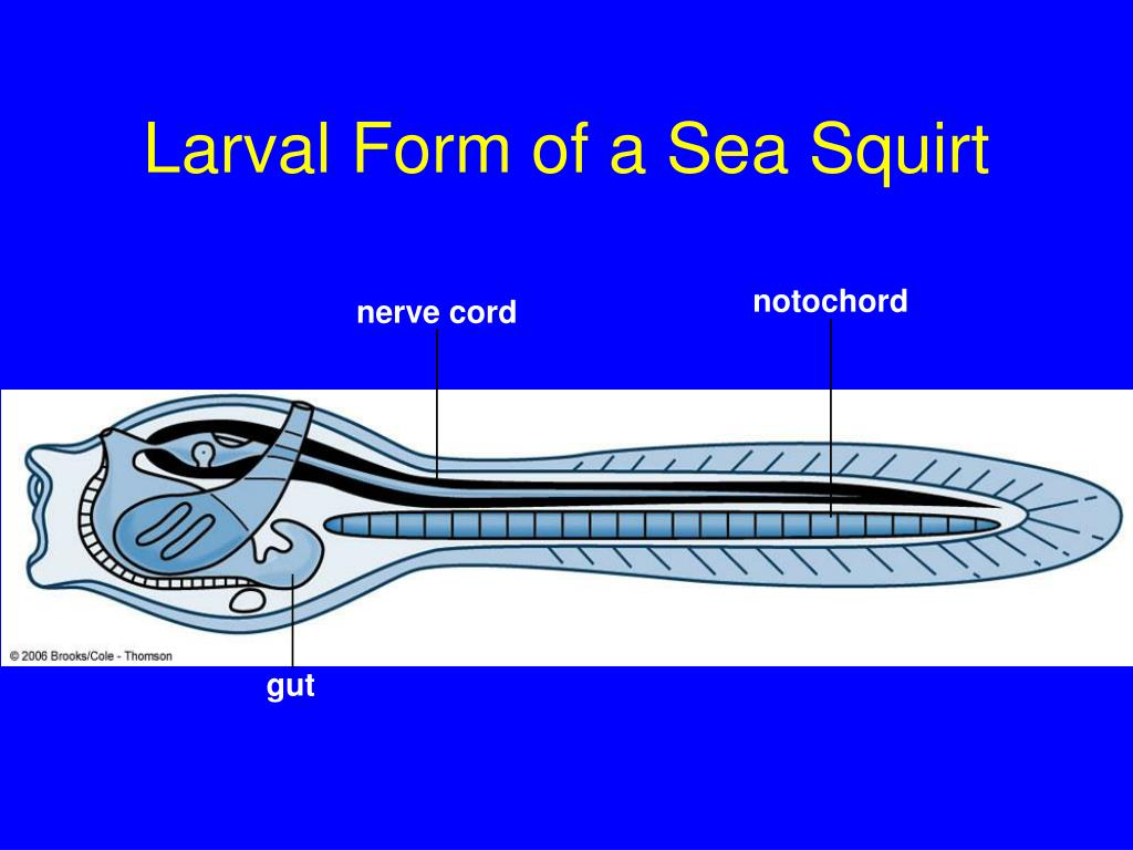 Larval Form of a Sea Squirt