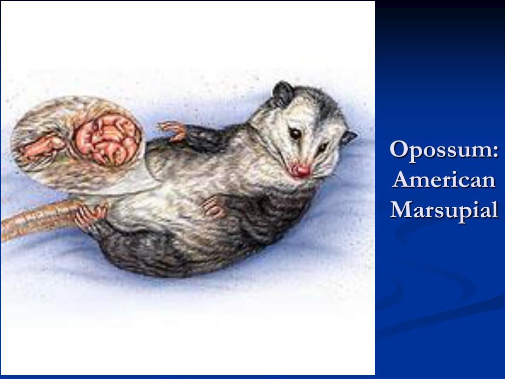 Opossum: