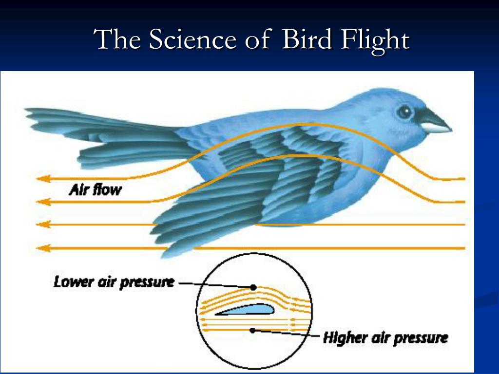 The Science of Bird Flight