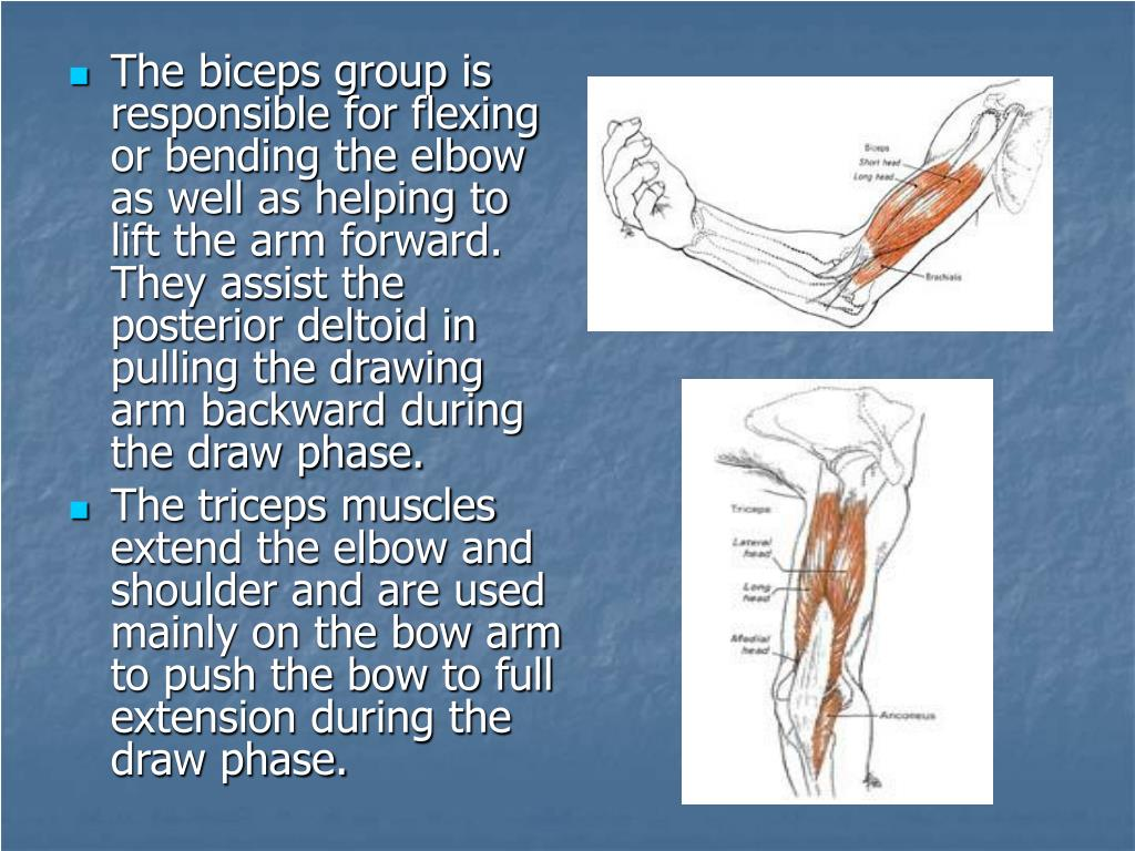The biceps group is responsible for flexing or bending the elbow as well as helping to lift the arm forward. They assist the posterior deltoid in pulling the drawing arm backward during the draw phase.