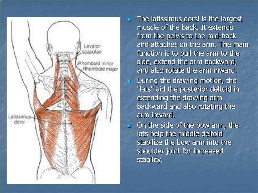 The latissimus dorsi is the largest muscle of the back. It extends from the pelvis to the mid-back and attaches on the arm. The main function is to pull the arm to the side, extend the arm backward, and also rotate the arm inward.