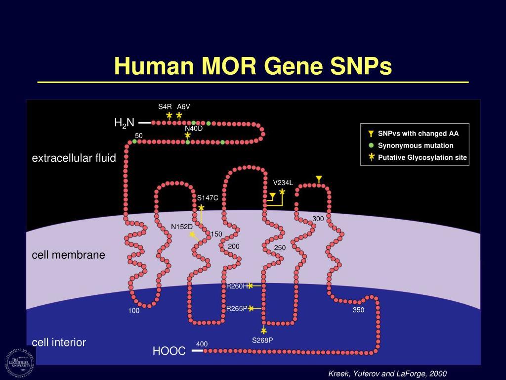 Human MOR Gene SNPs