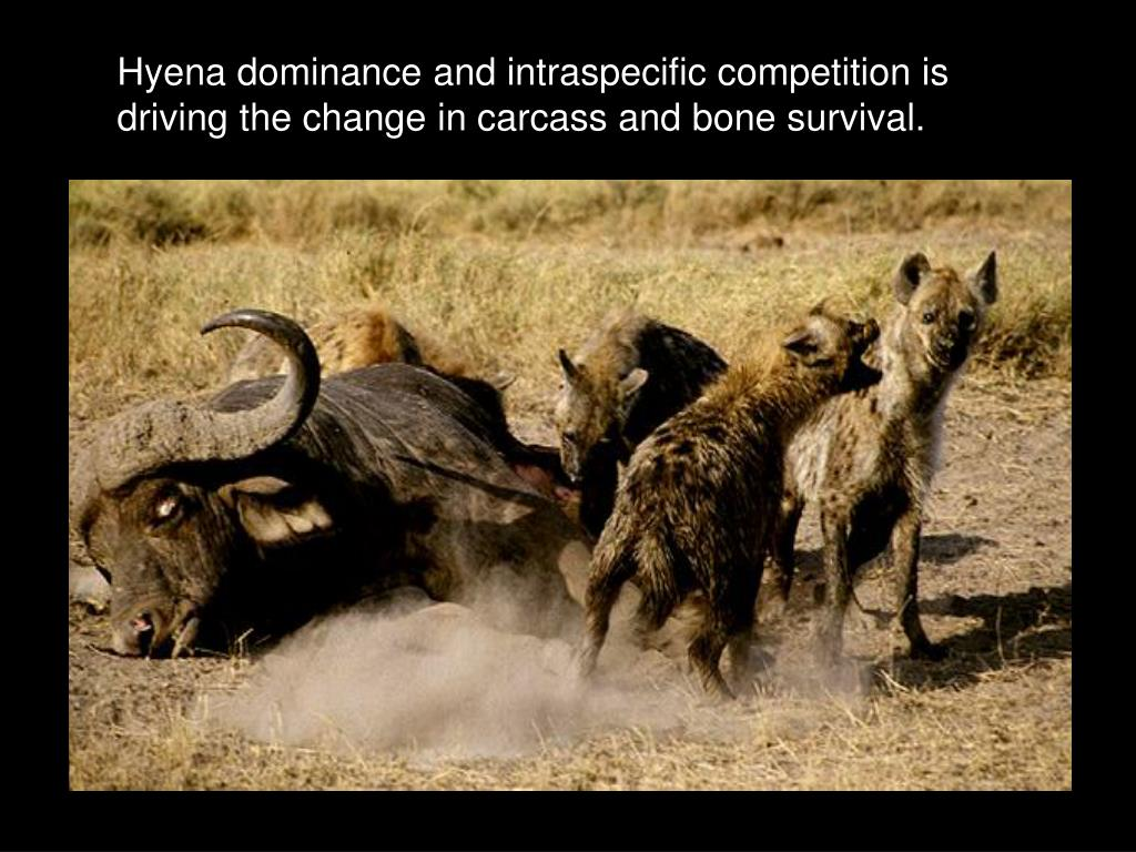 Hyena dominance and intraspecific competition is driving the change in carcass and bone survival.