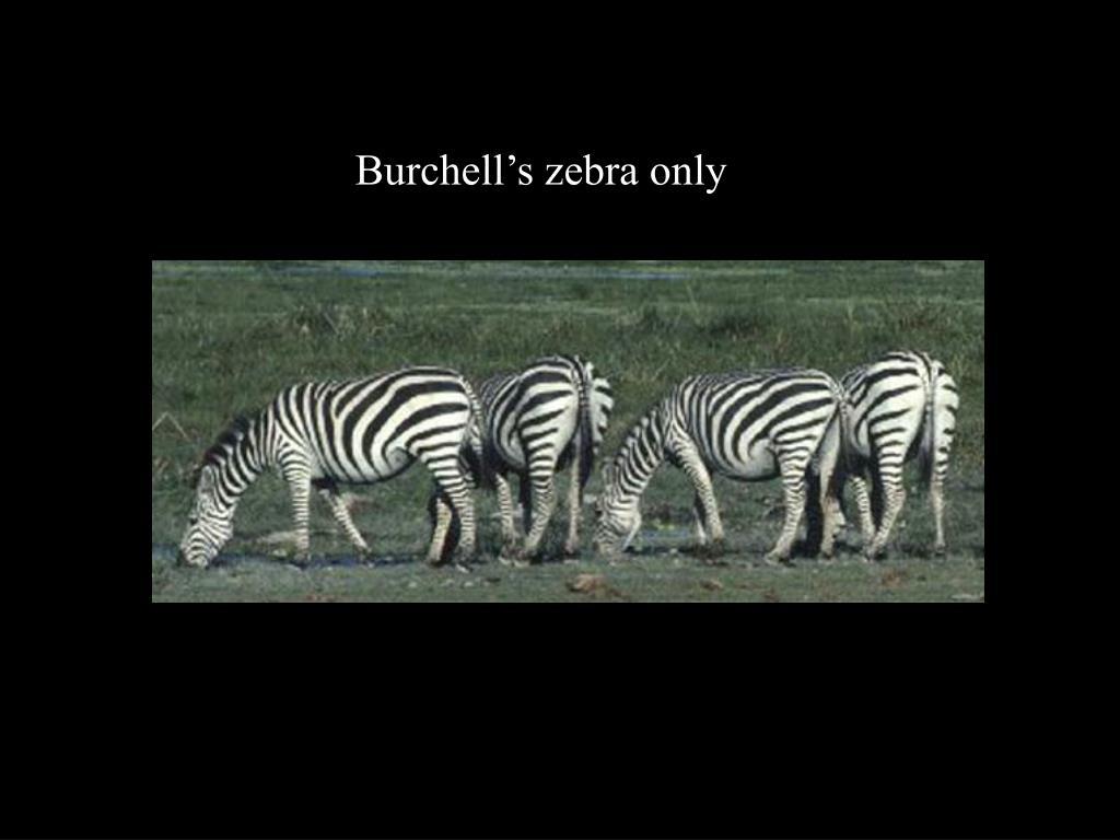 Burchell's zebra only
