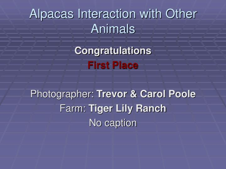 Alpacas interaction with other animals l.jpg