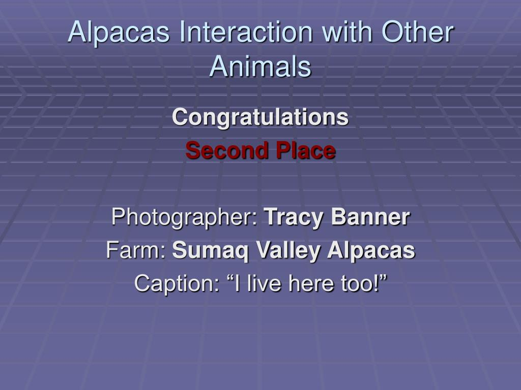 Alpacas Interaction with Other Animals