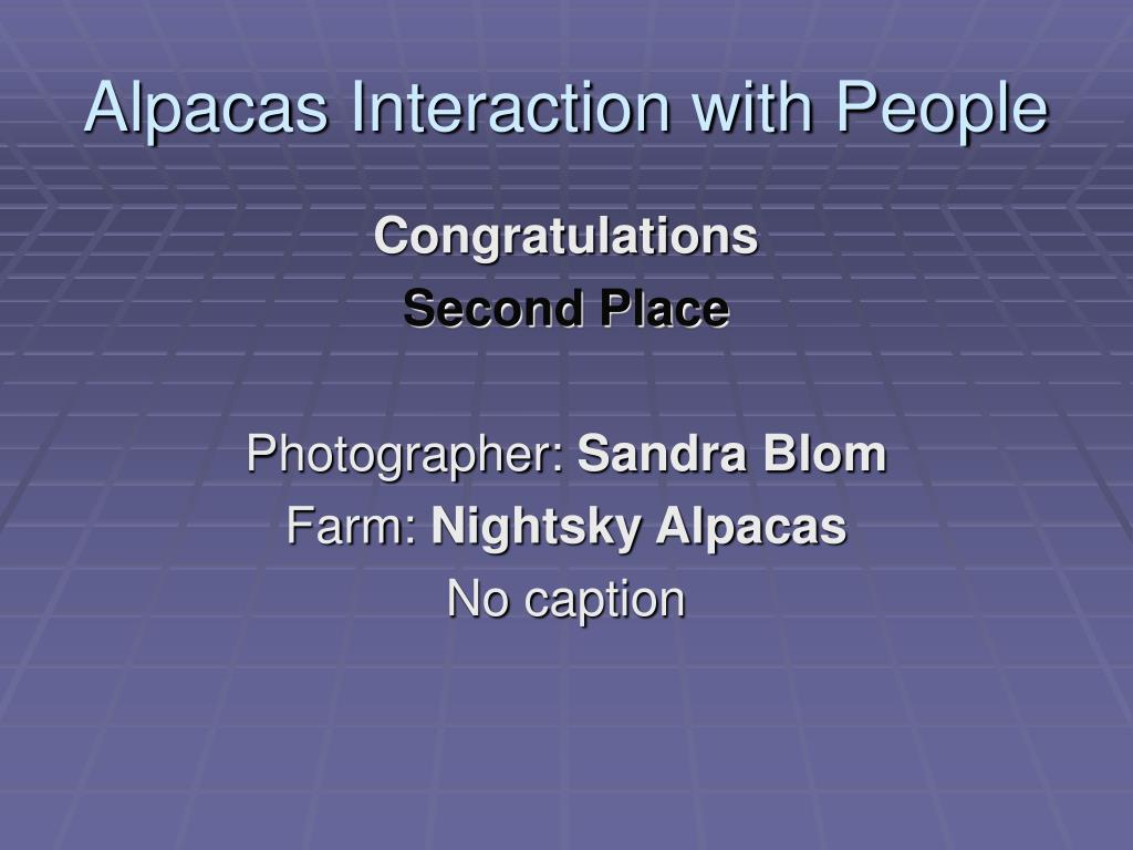 Alpacas Interaction with People