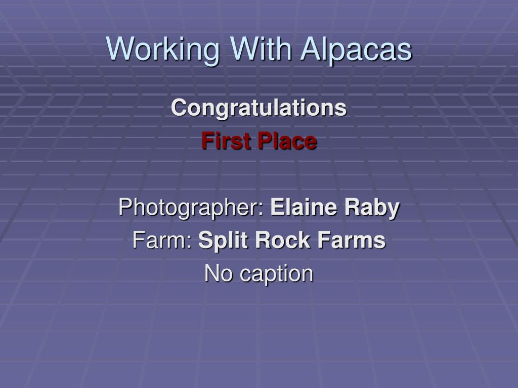 Working With Alpacas