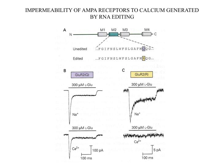 IMPERMEABILITY OF AMPA RECEPTORS TO CALCIUM GENERATED