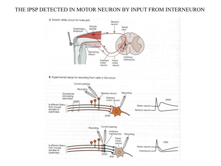 THE IPSP DETECTED IN MOTOR NEURON BY INPUT FROM INTERNEURON