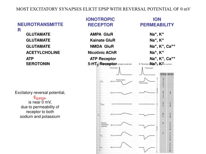 MOST EXCITATORY SYNAPSES ELICIT EPSP WITH REVERSAL POTENTIAL OF 0 mV