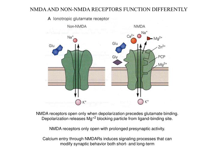 NMDA AND NON-NMDA RECEPTORS FUNCTION DIFFERENTLY