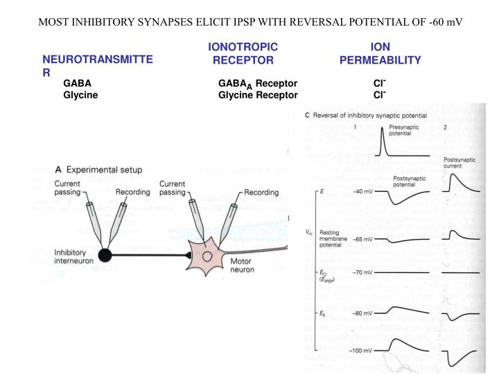 MOST INHIBITORY SYNAPSES ELICIT IPSP WITH REVERSAL POTENTIAL OF -60 mV