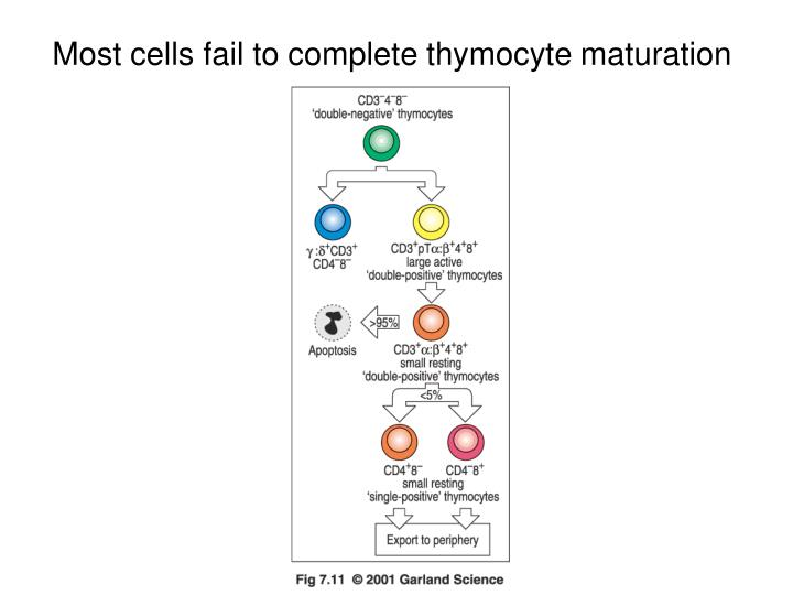 Most cells fail to complete thymocyte maturation