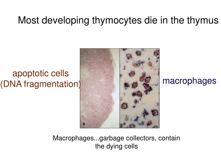 Most developing thymocytes die in the thymus