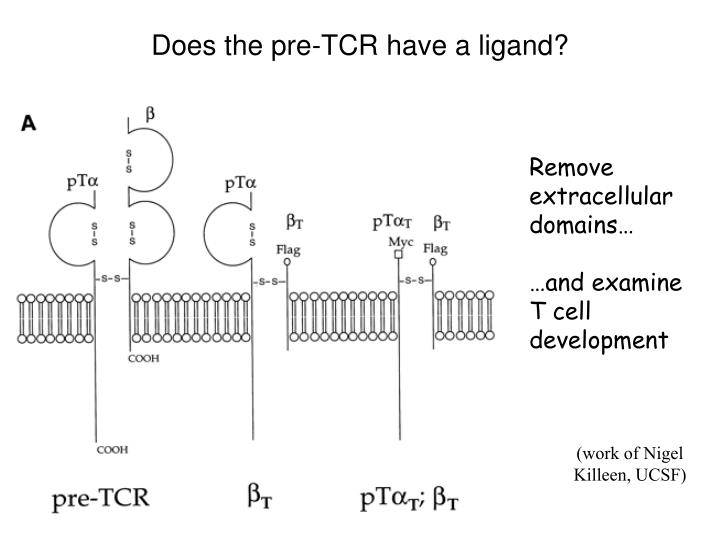 Does the pre-TCR have a ligand?