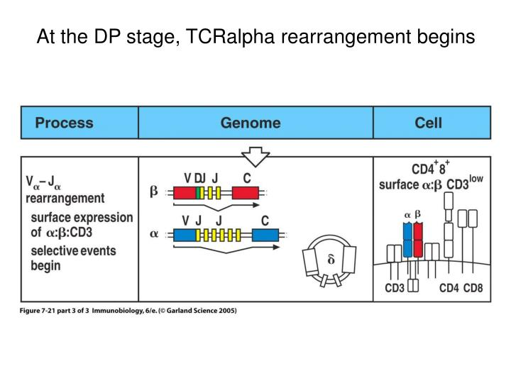 At the DP stage, TCRalpha rearrangement begins