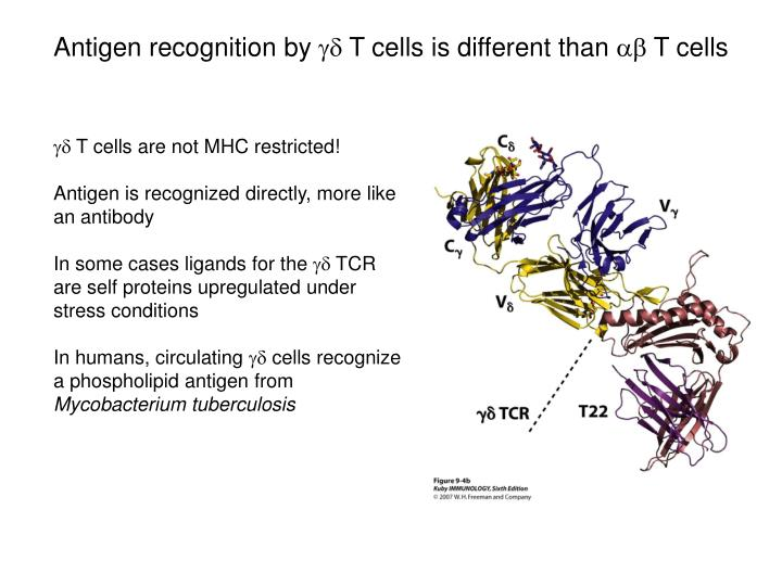 Antigen recognition by