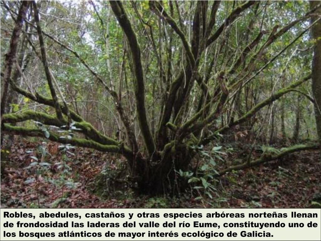 Robles, abedules, castaños y otras especies arbóreas norteñas llenan de frondosidad las laderas del valle del río
