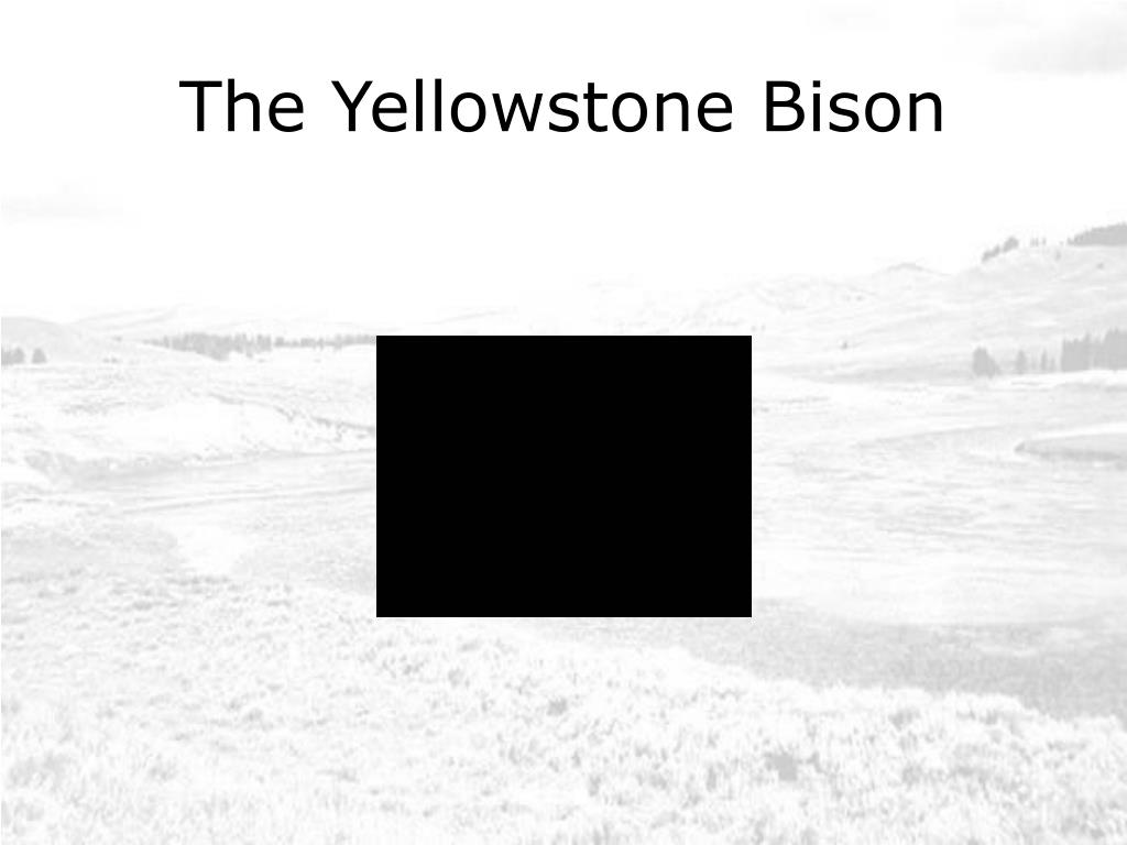 The Yellowstone Bison