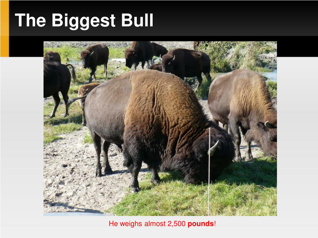 The Biggest Bull