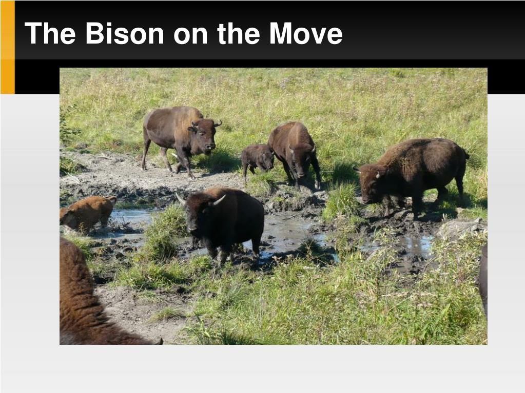 The Bison on the Move