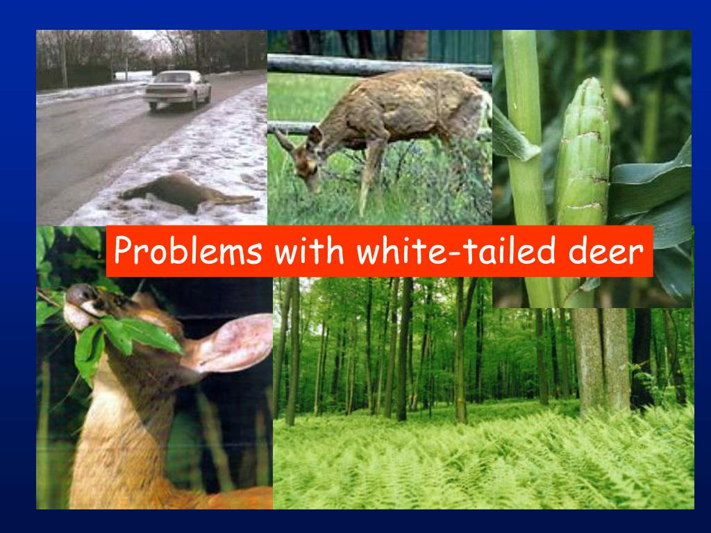 Problems with white-tailed deer