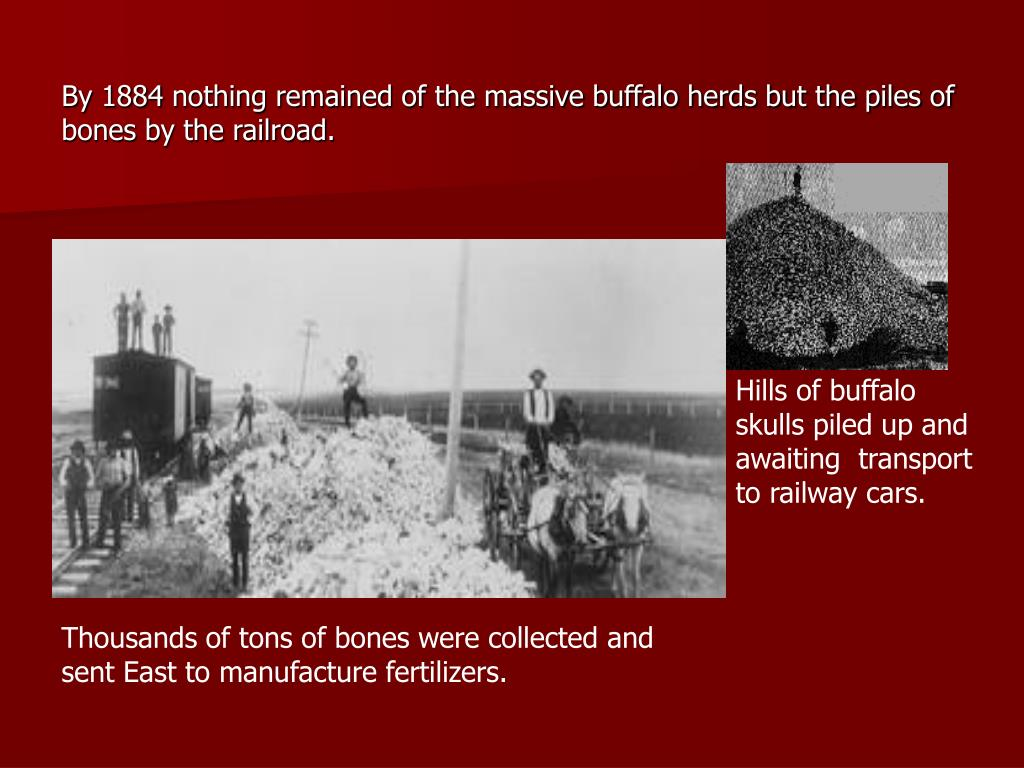 By 1884 nothing remained of the massive buffalo herds but the piles of bones by the railroad.