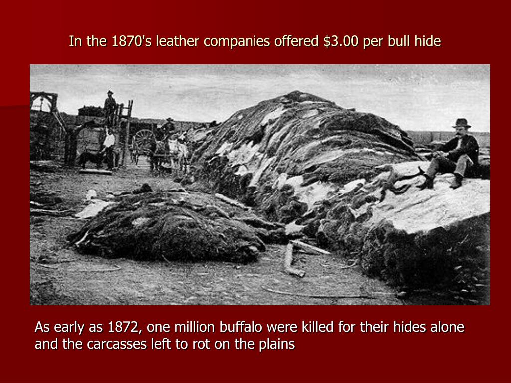 In the 1870's leather companies offered $3.00 per bull hide