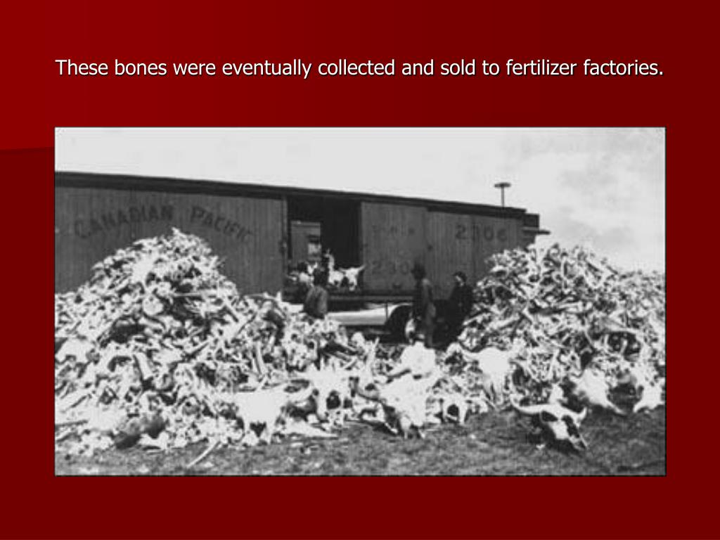These bones were eventually collected and sold to fertilizer factories.