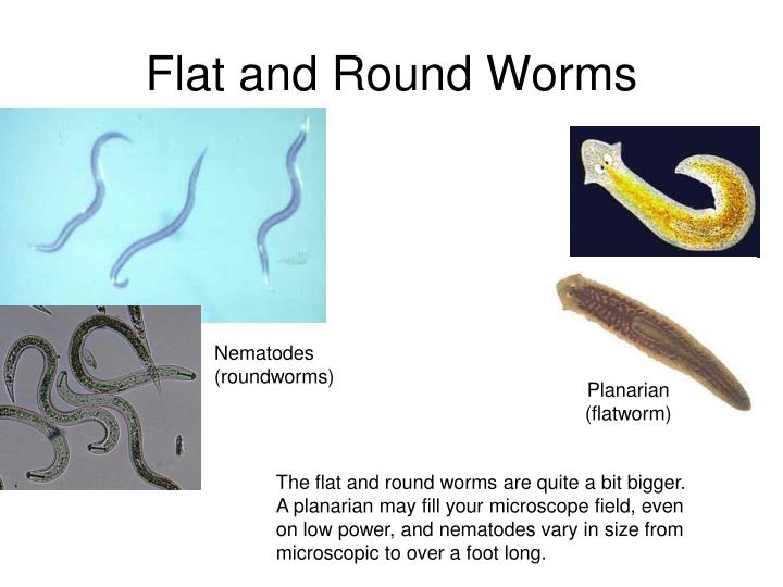 Flat and Round Worms