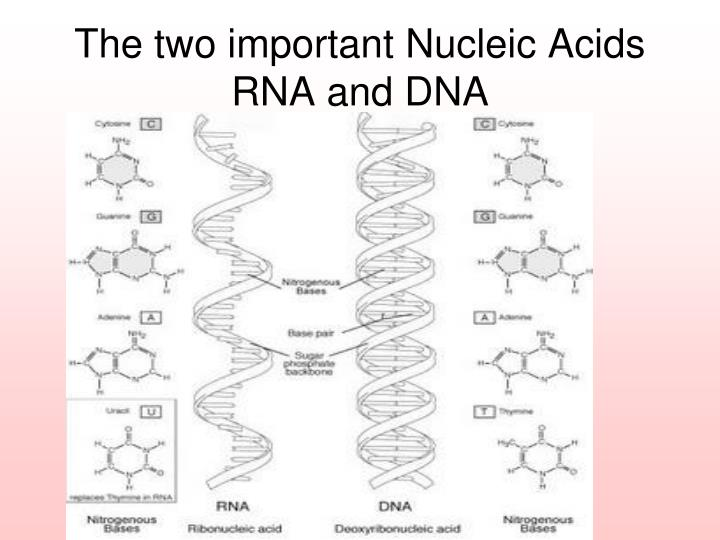 The two important Nucleic Acids