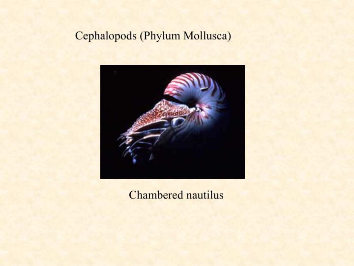 Cephalopods (Phylum Mollusca)