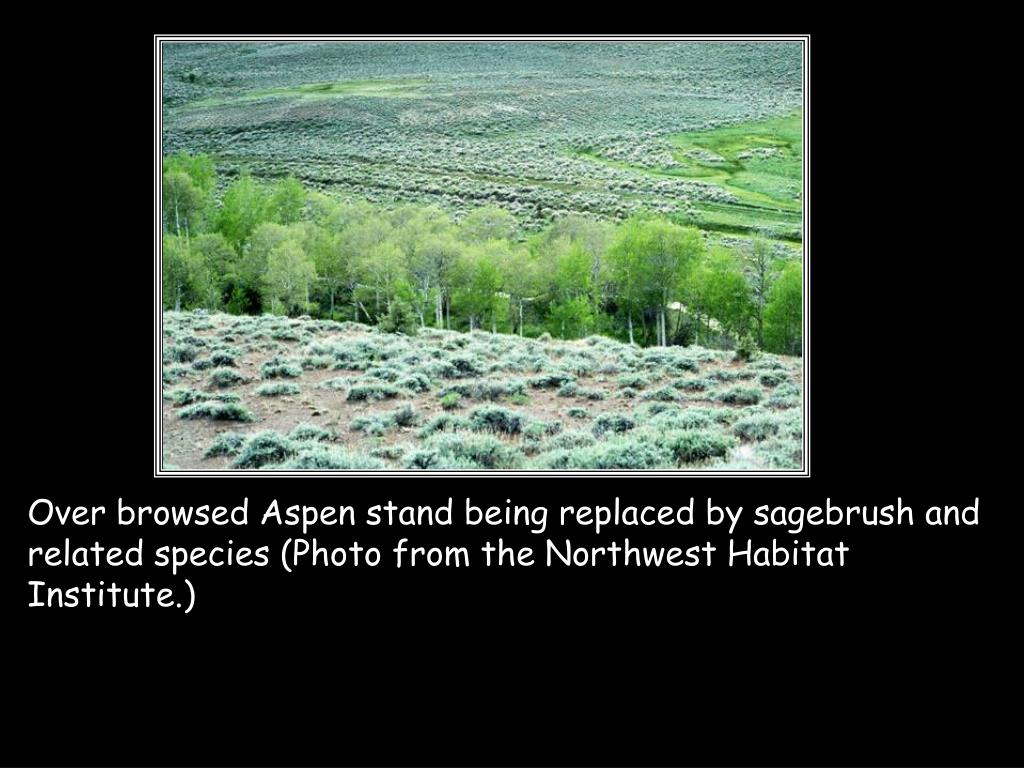 Over browsed Aspen stand being replaced by sagebrush and related species (Photo from the Northwest Habitat Institute.)