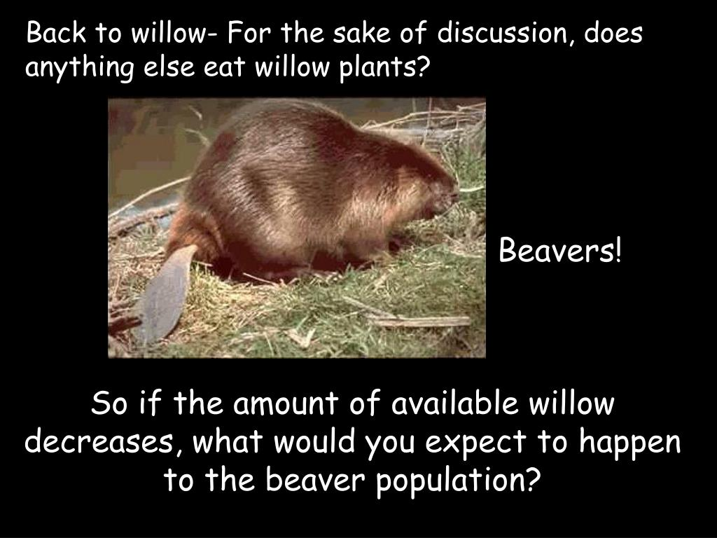 Back to willow- For the sake of discussion, does anything else eat willow plants?