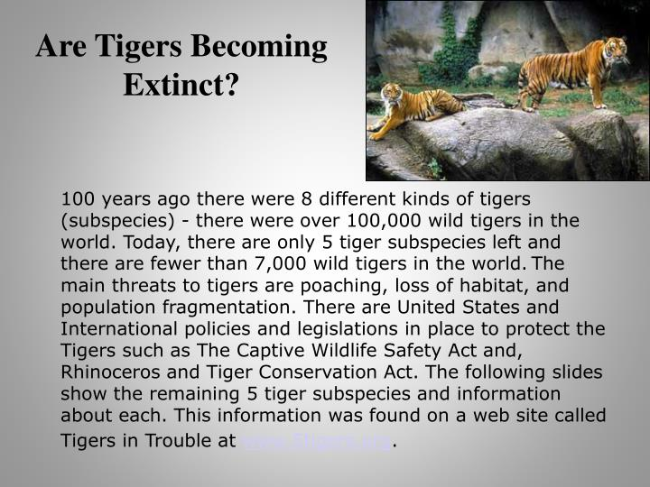 Are Tigers Becoming Extinct?