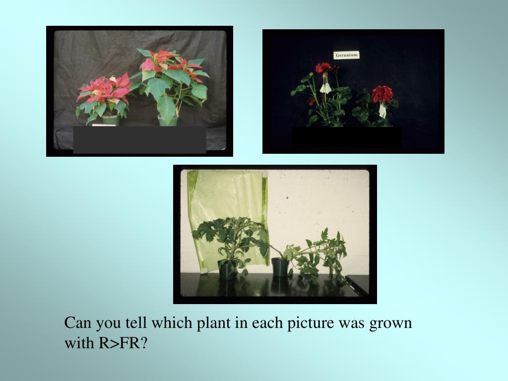 Can you tell which plant in each picture was grown with R>FR?