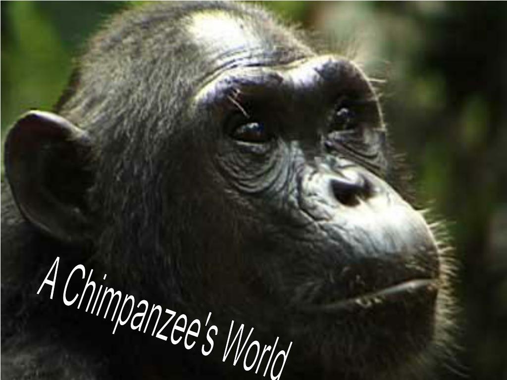 A Chimpanzee's World