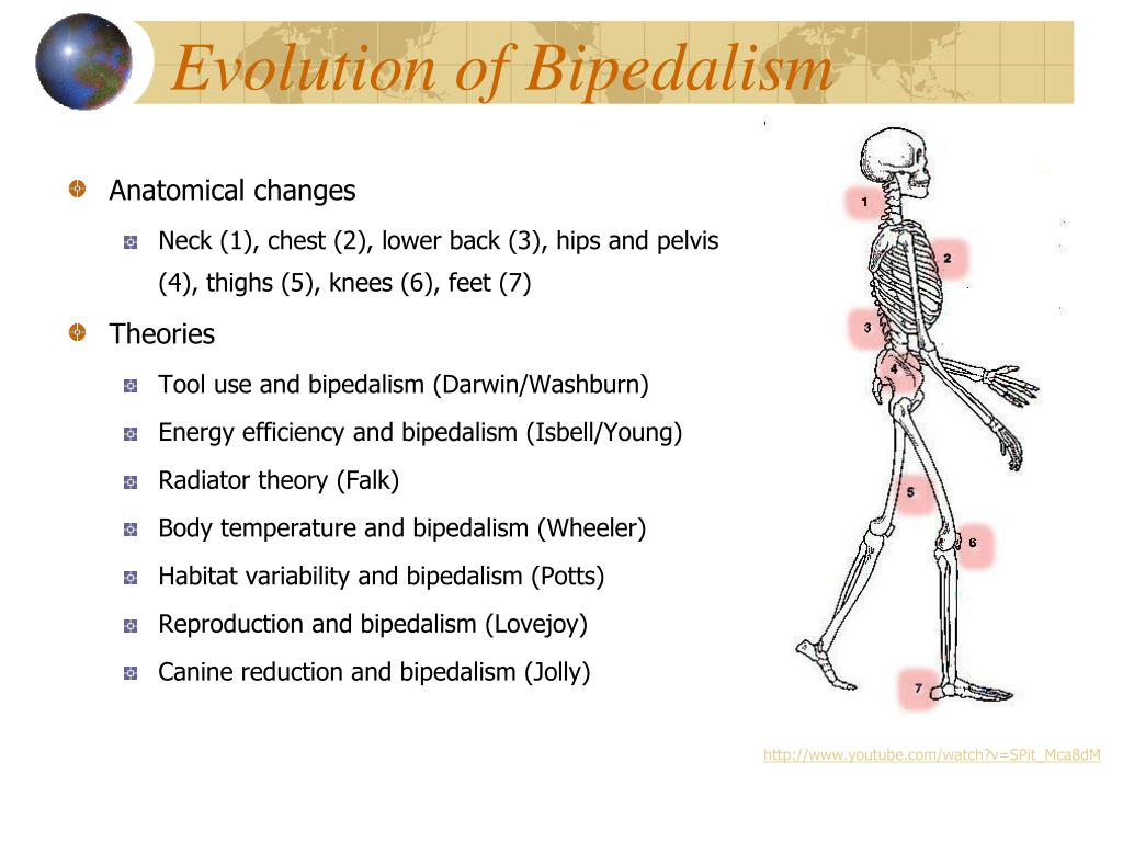 Evolution of Bipedalism