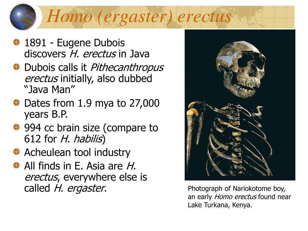 Homo (ergaster) erectus