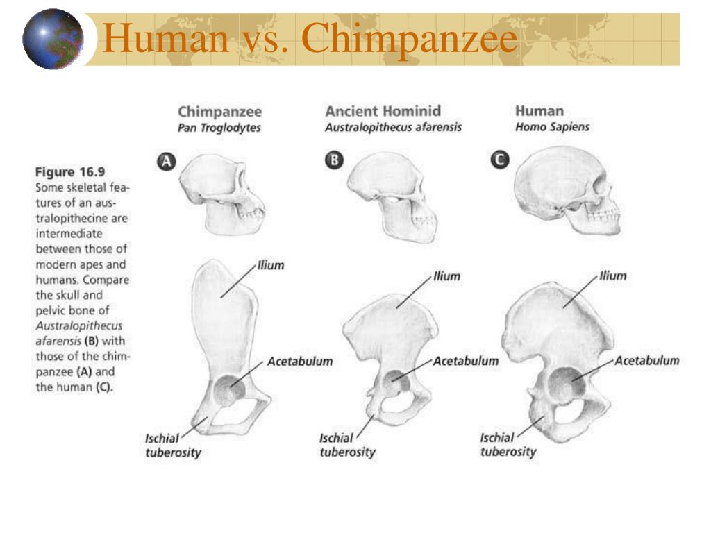 Human vs. Chimpanzee