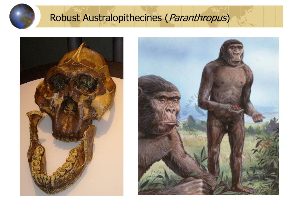 Robust Australopithecines (