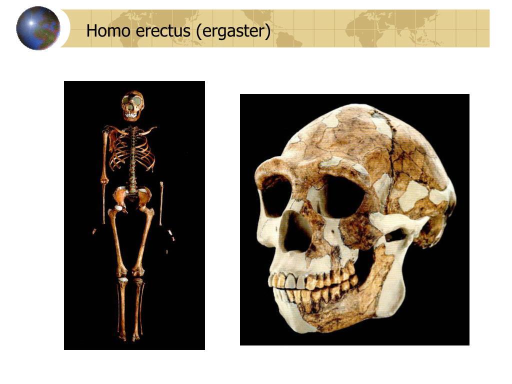 Homo erectus (ergaster)