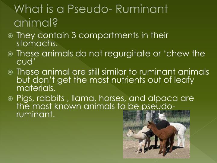 What is a Pseudo- Ruminant animal?