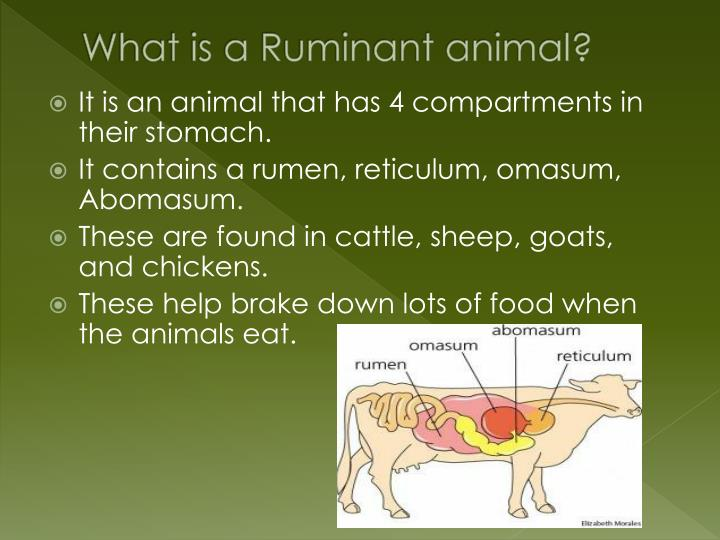 What is a Ruminant animal?
