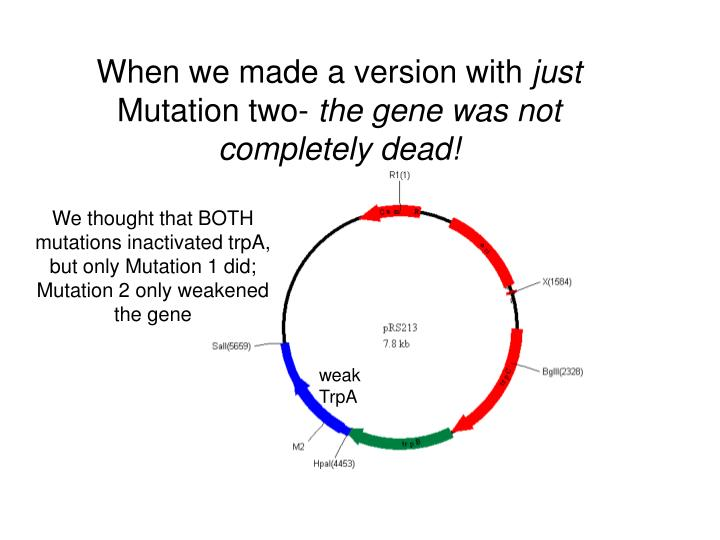 We thought that BOTH mutations inactivated trpA, but only Mutation 1 did; Mutation 2 only weakened the gene